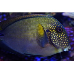 White Spotted Surgeon / Acanthurus maculiceps