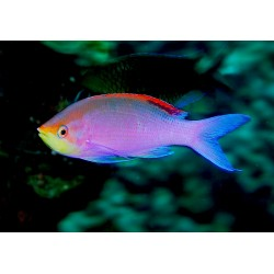 Purple Anthias (Juv) / Pseudanthias tuka