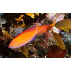 Redfin Anthias / Pseudanthias dispar