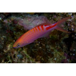 Tiger Queen Anthias / Pseudanthias lori