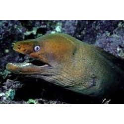 Panamic Green Moray Eel / Gymnothorax castaneus