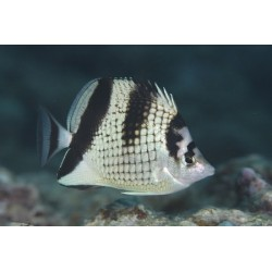 Black Pearlscale Butterfly /Chaetodon argentatus