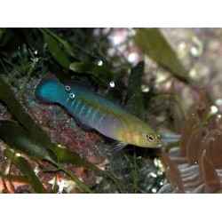 Blue-striped Dottyback / Pseudochromis cyanotaenia
