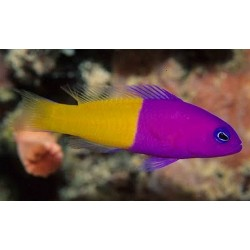Royal Dottyback / Pseudochromis paccagnellae