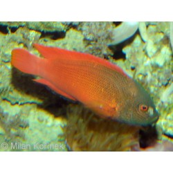 Lined Dottyback / Labracinus lineatus