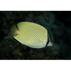 Citron Butterfly / Chaetodon citrinellus