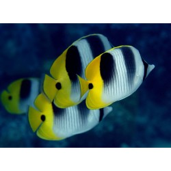 Pacific Doublesaddle Butterfly / Chaetodon ulietensis