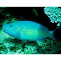 Yellow-sided Parrotfish / Scarus psittacus
