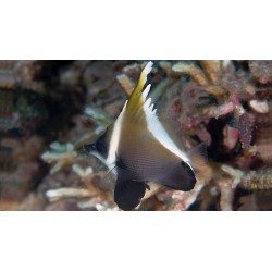 Indian Bannerfish / Heniochus pleurotaenia