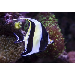 Moorish Idol / Zanclus canescens