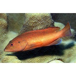 Red Coney Grouper / Cephalopholis fulva