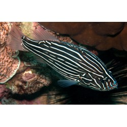 Six-lined Grouper / Grammistes sexlineatus