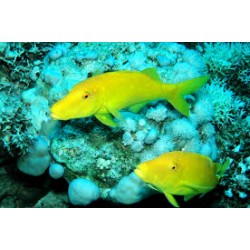 Yellowsaddle Goatfish / Parupeneus cyclostomus