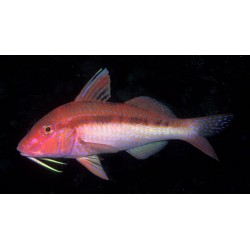 Blue-spotted Goatfish / Upeneichthys lineatus