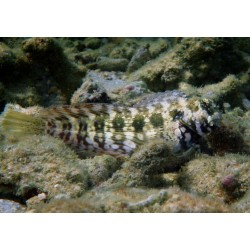 Jewelled Rockskipper / Salarias fasciatus