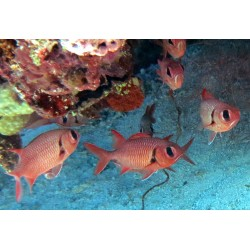 Bigeye Squirrelfish / Myripristis murdjan