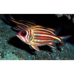 Red-lined Squirrelfish / Sargocentron rubrum