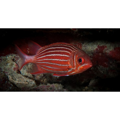 Assorted Squirrelfish / Sargocentron sp.
