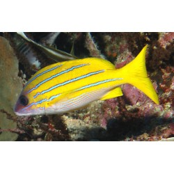 Yellow Snapper / Lutjanus virdis