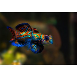 Mandarin Fish / Synchiropus splendidus