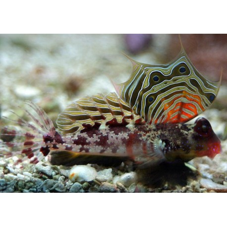 Spotted Dragonet / Synchiropus picturatus