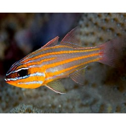 Gold-striped Cardinalfish / Apogon cyanosoma