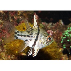 T-Striped Cardinalfish / Sphaeramia orbicularis