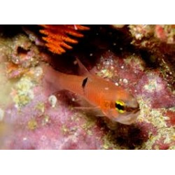 Pink Cardinalfish / Apogon pacificus