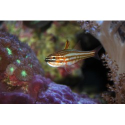 Lattice Cardinalfish / Apogon margaritophorus