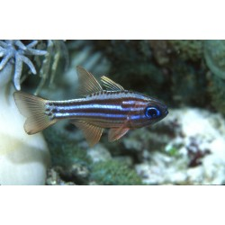 Split-banded Cardinalfish / Apogon compressus