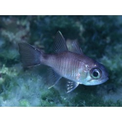 Big-eye Dusky Cardinalfish / Apogon savayensis