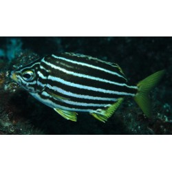 White Bellied Stripey / Atypichthys latus
