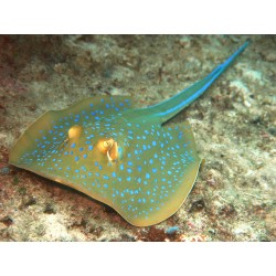 Blue-spotted Sting Ray / Taeniura lymma