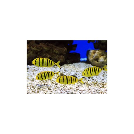 Golden Trevally (S) / Gnathanodon speciosus