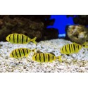 Golden Trevally (S) CAPTIVE BRED! / Gnathanodon speciosus