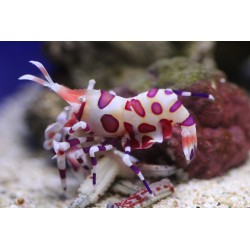 Clown (White Orchid) Shrimp / Hymenocera picta