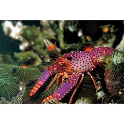 Red-Purple Lobster / Enoplometopus debelius
