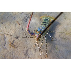 Spiny Lobster  / Panulirus ornatus