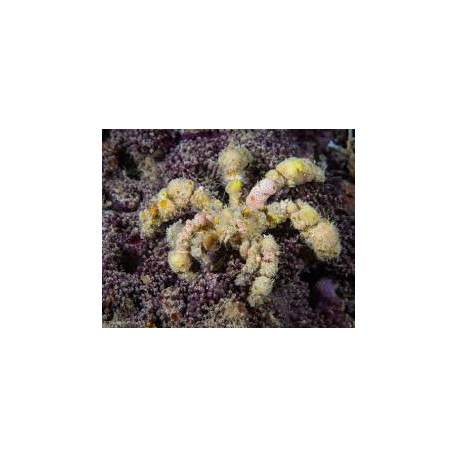 Decorated (Spider) Crab / Composcia retusa
