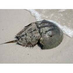Horseshoe Crab / Tachypleus species