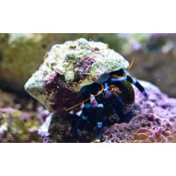 Electric Blue Hermit Crab / Calcinus elegans