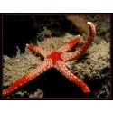 Jewel Sea Star / Fromia nodosa