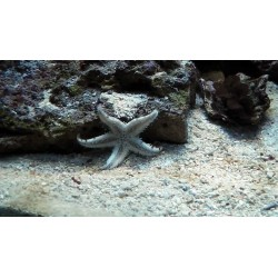 Ordinary (Sand) Sea Star / Archaster typicus