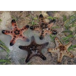 Choc Chip (Knob) Sea Star / Protoreaster nodosus