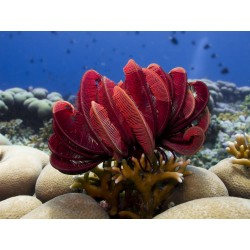 Red Feather Star / Oxycomanthus bennetti