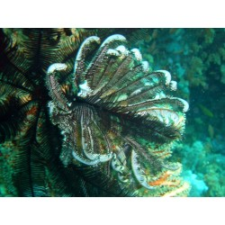 Black / Brown Feather Star / Himerometra bartschi