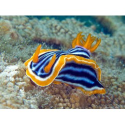 Assorted Sea Slug  / Chromodoris sp.