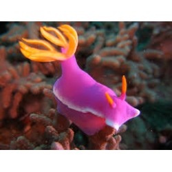 Purple Sea Slug / Chromodoris bullocki