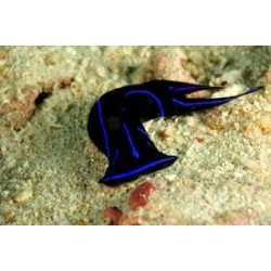 Blue Velvet Sea Slug / Golosodrch sp.
