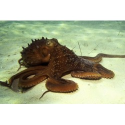 Brown Octopus / Octopus sp.